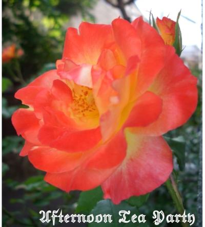 ガーデニング バラ ふれ太鼓 四季咲き オレンジ ピンク
