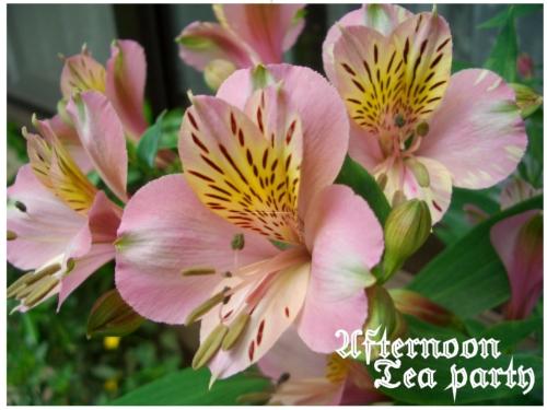 ガーデニング アリストロメリア ピンク 全体