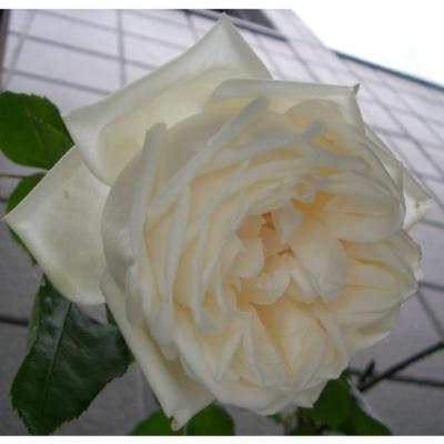 ガーデニング 新雪(シンセツ) バラ 満開