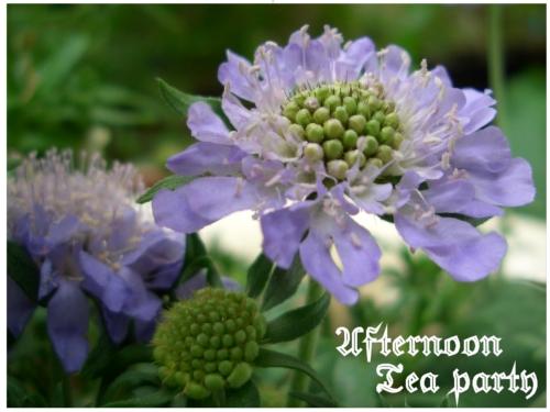 ガーデニング スカビオサ 青紫