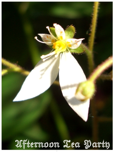 ガーデニング ユキノシタ 花