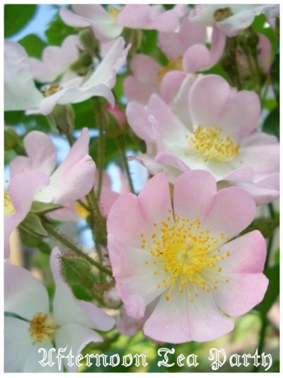 ガーデニング バレリーナ バラ ピンク 満開