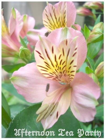 ガーデニング アリストロメリア ピンク