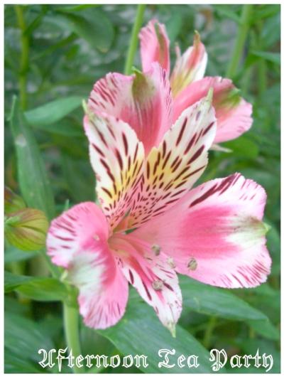 ガーデニング アリストロメリア 濃いピンク
