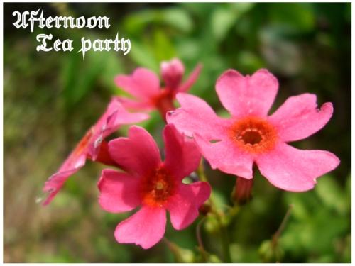 ガーデニング 濃いピンクの花 新潟 アップ