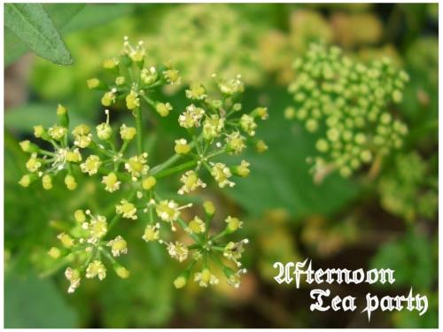 ガーデニング パセリ 花