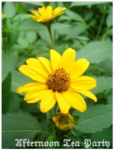 ガーデニング 黄色の花