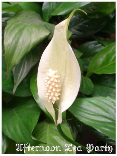 ガーデニング スパティフィラム 白い花