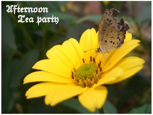 ガーデニング ヒメヒマワリ キクイモモドキ 蝶