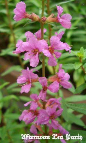 ガーデニング ミソハギ 盆花