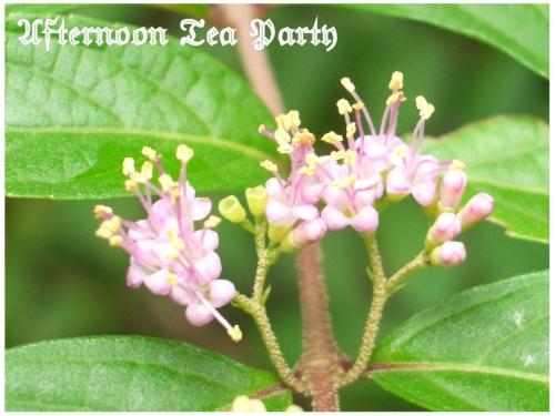 ガーデニング ムラサキシキブ 紫式部 花