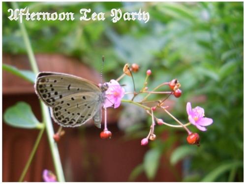 ガーデニング ハゼラン 四時草 ヤマトシジミ 蝶 チョウ