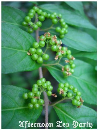ガーデニング ムラサキシキブ 紫式部 実 緑