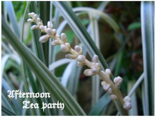 ガーデニング ノシラン 白い花