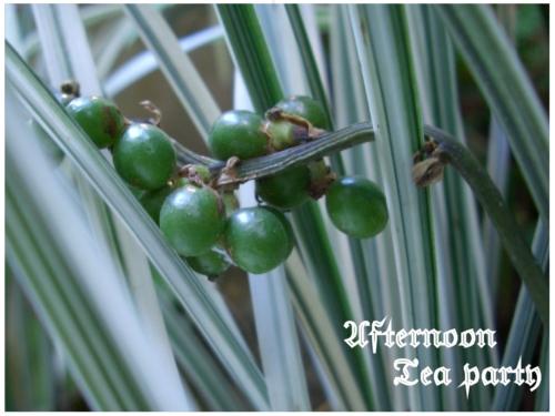 ガーデニング ノシラン 緑の実