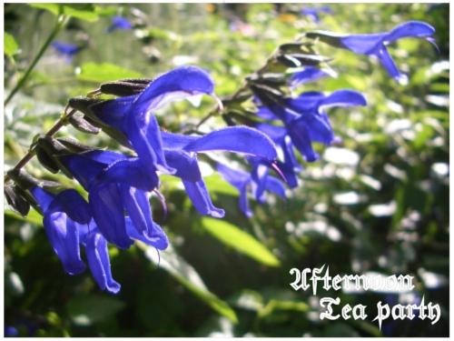 ガーデニング メドウセージ 青 花