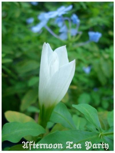 ガーデニング 白い花