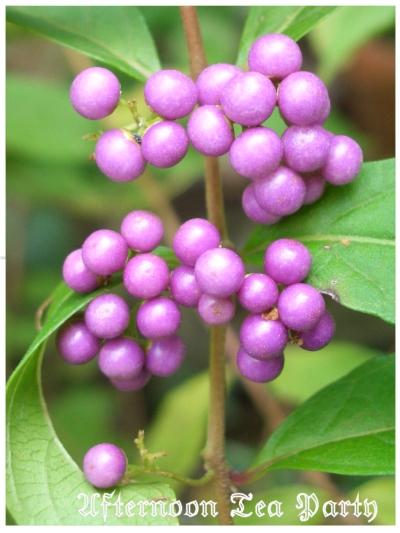 ガーデニング コムラサキシキブ 小紫式部 紫の実