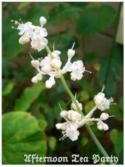 ガーデニング ヤブミョウガ 藪茗荷 白い花