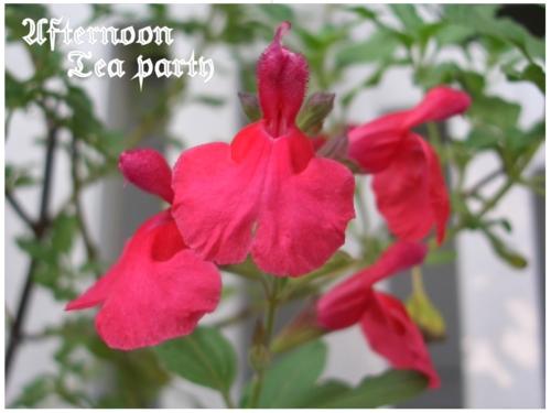 ガーデニング チェリーセージ 赤い花