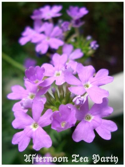 ガーデニング バーベナ 紫
