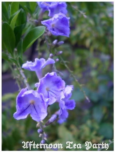 ガーデニング デュランタタカラヅカ 花