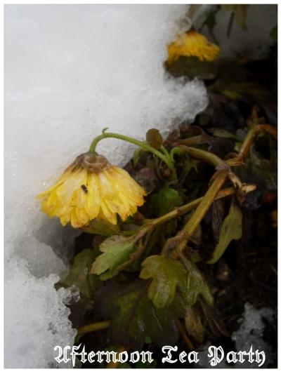 新潟 雪景色 菊 黄色