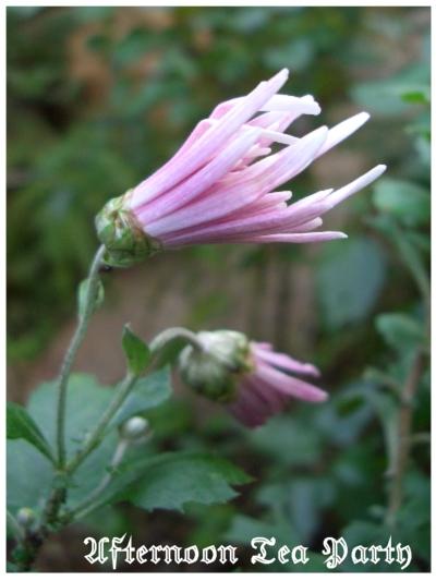ガーデニング 菊 ピンク 食用