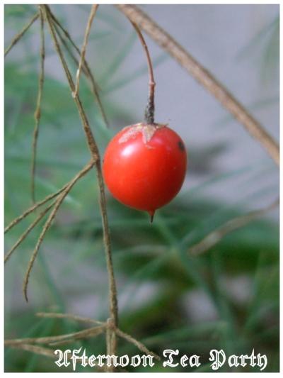 ガーデニング アスパラ 赤い実