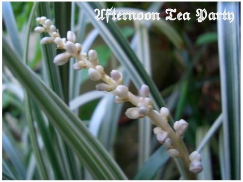 ガーデニング スノードラゴン 白い花 オフィオポゴン・マレヤヌス