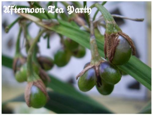 ガーデニング ノシラン 熨斗蘭 緑の実