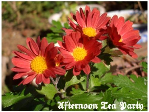 ガーデニング 菊 赤い花