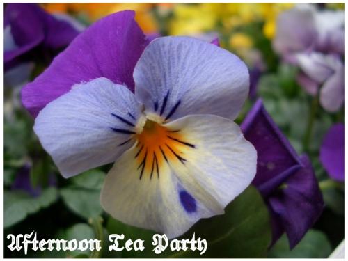 シェードガーデン ビオラ 紫二色