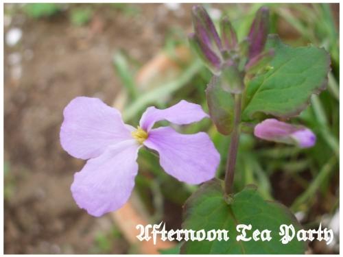シェードガーデン ムラサキハナナ 花
