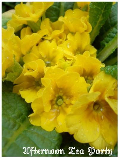 シェードガーデン プリムラジュリアン 黄色