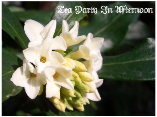 シェードガーデン 沈丁花 ジンチョウゲ 白