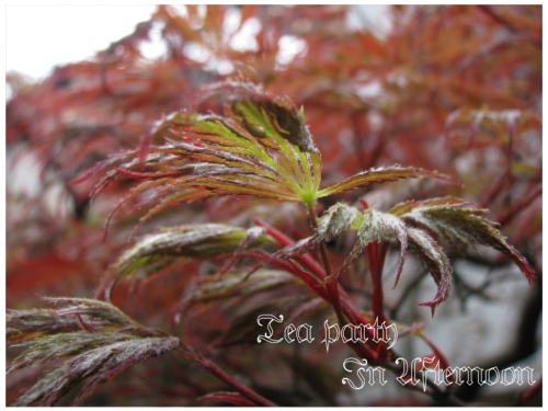 シェードガーデン 春もみじ 紅葉 枝垂れ 全体