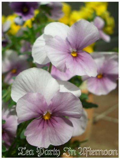 シェードガーデン ビオラ 薄紫