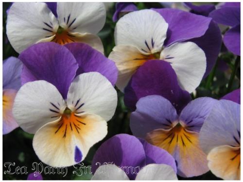 シェードガーデン ビオラ 紫
