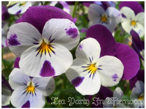 シェードガーデン ビオラ 紫1