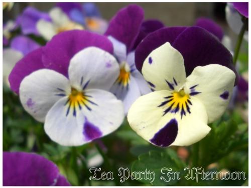 シェードガーデン ビオラ 紫2