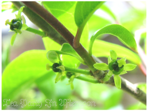 シェードガーデン 柑橘系 花