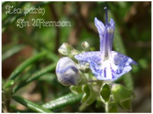 シェードガーデン ローズマリー 青い花