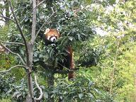 いしかわ動物園・レッサーパンダ