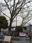 10日剛桜