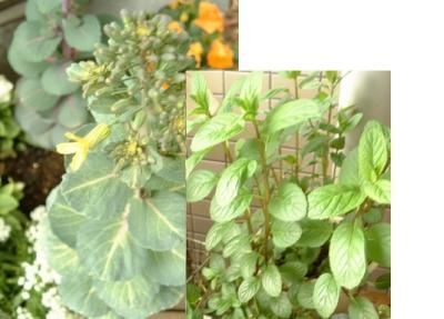 葉牡丹の花とミント