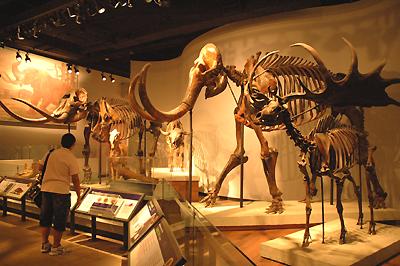 ゾウ(マンモス?)の化石