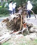 広島市で台風により倒れた樹木