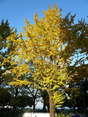 山下公園前の銀杏並木