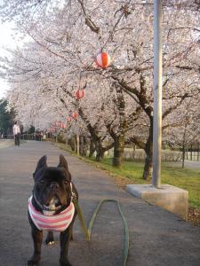 桜日和でち